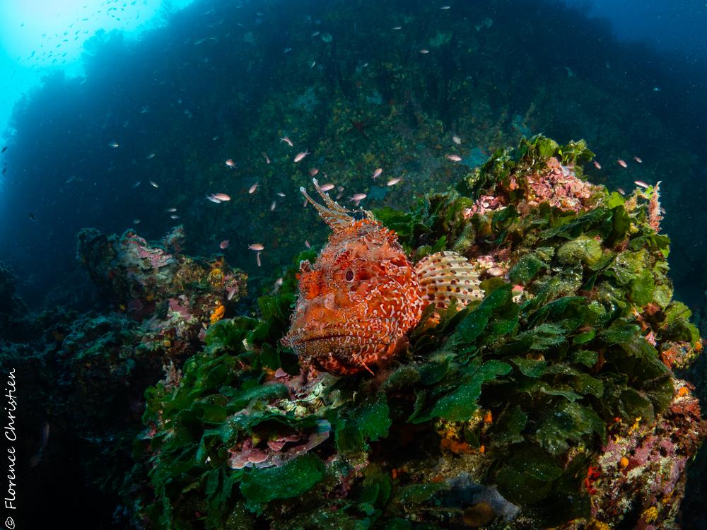 Chapon sur algues