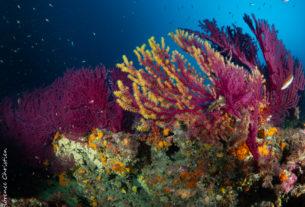 récif gorgones